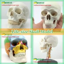 Modelo anatómico de cráneo humano de plástico para educación médica