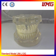 Hot Sale Completely Transparent Teeth Model Standard Adult Teeth