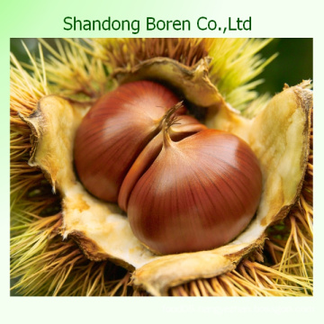 Supplying The Best Chestnut to Other Country