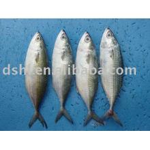 frozen indian mackerel, blue mackerel scad, indian horse mackerel ,indian mackerel scad