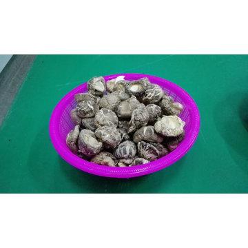 Popular y de bajo precio secado flor de té Shiitake seta