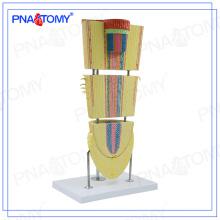 PNT-0838 Modèle de section de racines de dicotylédones biologiques