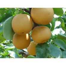De alta calidad Deliciosa Pera Fengshui dulce