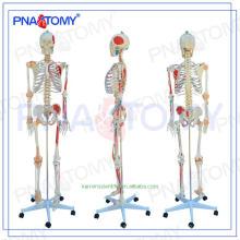Superventas Plastic human anatómico esqueleto
