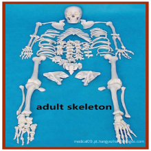 Modelo artificial de anatomia de esqueleto disarticulado artificial artificial