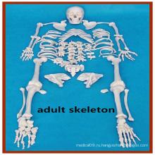 Искусственная модель анатомии скелета человека