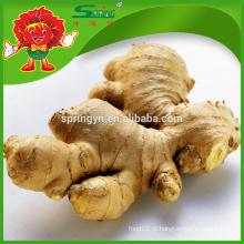 Fresh gengibre Chinês maduro especificação gengibre maduro