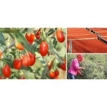 Zhongning red goji berry