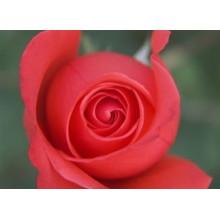 Brote de rosas secas, té de flores florales, té de flores de rosas, extracto de rosas