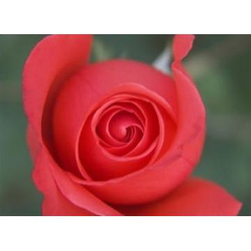 Gâteau rose séché, Thé aux herbes florales, Thé à fleurs roses, Extrait de rose
