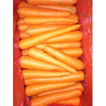 New Crop Fresh Red Carrot