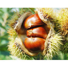 Chestnut (granos grandes) para la venta