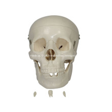 Modelo de crânio em tamanho natural para ensino médico