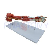 Anatomía PNT-0331 de los músculos del brazo humano
