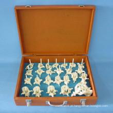 Instrumento médico modelo de esqueleto das peças de vertebra humana (R020105)