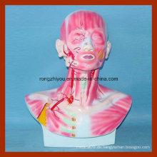 Kopf, Gesicht und Hals Abschnitt Modell mit Muskulatur und Blutgefäße Verteilung Modell