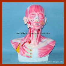 Head, Face and Neck Section Model with Musculature and Blood Vessels Distribution Model