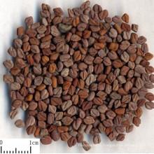 Экстракт семян пажитника, сапонины пажитника 50%, фуростаноловые сапонины 50%