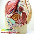 ANATOMY01 (12439) Section de Bassin Mâle Taille Modèle Anatomique, 4 Parties, Modèles d'Anatomie> Modèles Homme / Femme> Modèles de Bassin