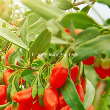 Nouvelle culture Eu Goji Berry