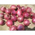 Cebolla roja fresca de bajo precio