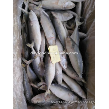supply frozen indian mackerel