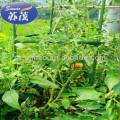 stents de tomates, stent vegetal