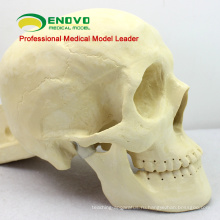 TF09 (12320) череп, грыжесечение практике модель медицинского образования