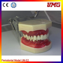 China Dental Equipment Dental Teeth Model