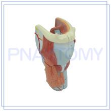 PNT-0440 Modelo de Laringe de Anatomía Humana Modelo de Laringe