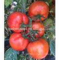 T53 Dabao mi-tard maturité graines de tomates hybrides rouges