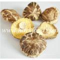 5-5,5 cm Green Natural Deform Shiitake Mushroom
