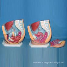 Высококачественная женская тазовая и абдоминальная медицинская анатомическая модель (R110211)