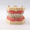 32 pcs Removable Teeth SF Type Dental Study Model for School Education 13009