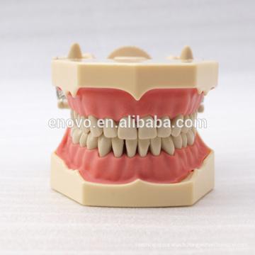 32 pcs dents amovibles SF Type modèle d'étude dentaire pour l'éducation scolaire 13009