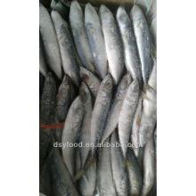 pacific mackerel 80-200g