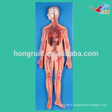 ISO Vivid Vascular system Model for Medical Teaching