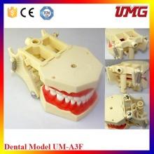 Padrão Dental Model Dente Dentes Model Dentista Modelo Anatório