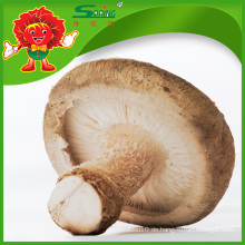 Großhandel frische Pilze Bio-Gemüse