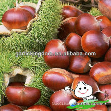 China chestnut for sale
