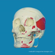 High Quality Anatomical Human Skull Medical Skeleton Model (R020609)