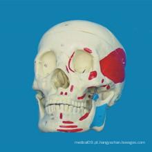 Modelo de esqueleto médico de crânio humano anatômico de alta qualidade (R020609)