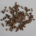 White popinac leadtree seed