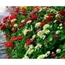 China for Bigflower Coreopsis Flower seed viability table supply to Libya Manufacturers