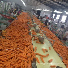 Organic Fresh Carrots Sweet Fresh Carrots