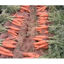 Fresh Carrots /Natural Fresh Carrots From China