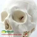SKULL06 (12332) Crâne anatomique en plastique avec modèle du rachis cervical