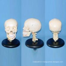 Modèle osseux d'anatomie squelettique humaine de haute qualité (R020610)