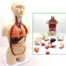 TORSO03 (12014) Medical Anatomy 45cm High Bisexual Human Torso Anatomical Educational Models