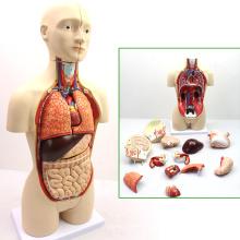 TORSO03 (12014) Anatomie médicale 45cm haute bisexuelle humaine torse modèles anatomiques éducatifs